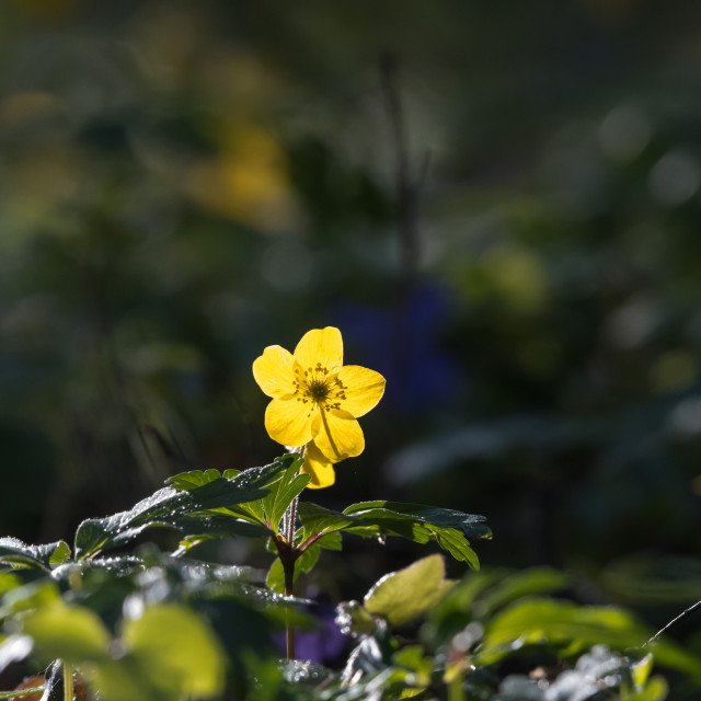 """Yellow backlit windflower close up"" stock image"