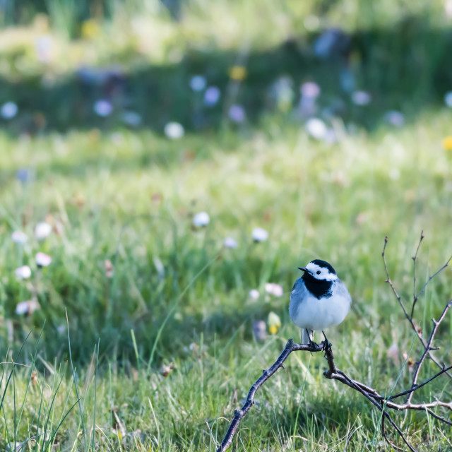 """Wagtail bird sitting on the ground with a background of blurred"" stock image"