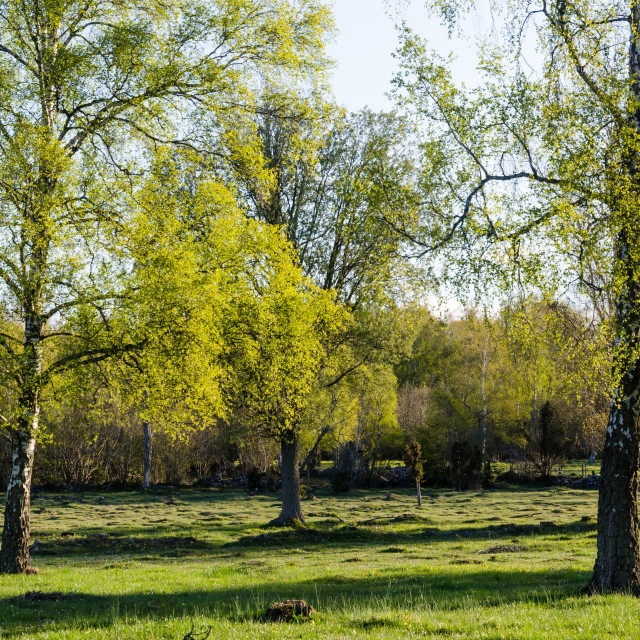 """Springtime with fresh new leaves on the birch trees"" stock image"