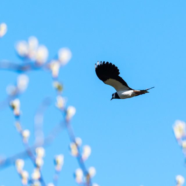 """Lapwing flying at springtime against a blue sky"" stock image"