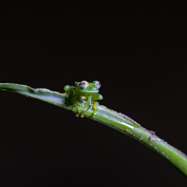"""""""Emerald Glass Frog against a black background"""" stock image"""