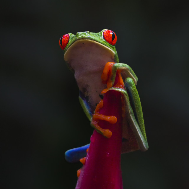 """Red-eyed Tree Frog sat on top of Emperor's Staff plant"" stock image"