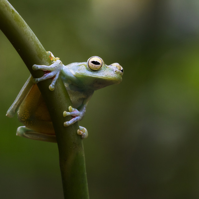 """""""Red Webbed Tree Frog on leaf stem"""" stock image"""