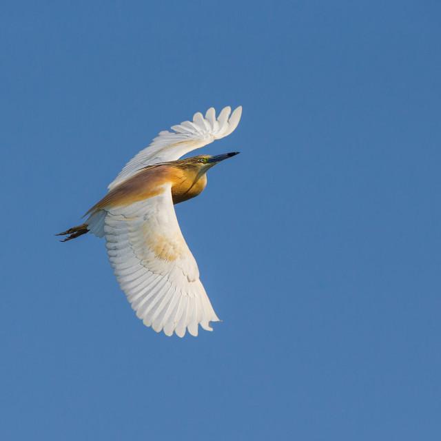 """Squacco Heron in flight"" stock image"