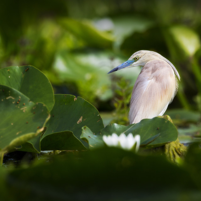 """Squacco Heron on Lily Pads"" stock image"
