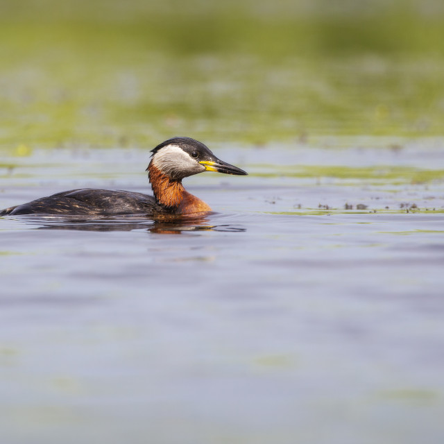 """Red-necked Grebe"" stock image"