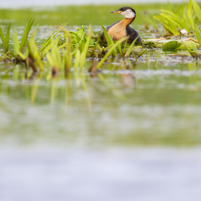 """Red-necked Grebe nesting"" stock image"