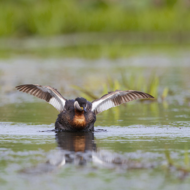 """Red-necked Grebe washing"" stock image"