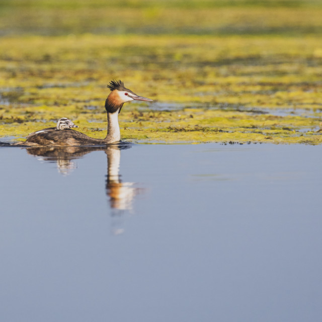 """Great-crested Grebe mother and chick"" stock image"