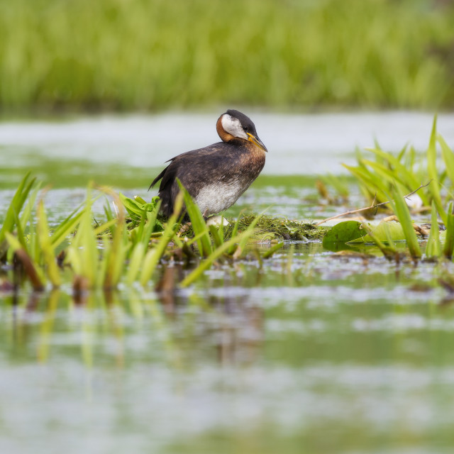 """Red-necked Grebe on the nest"" stock image"