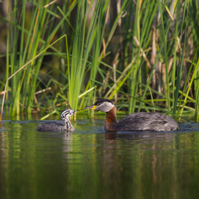 """Red-necked Grebe mother and chick"" stock image"