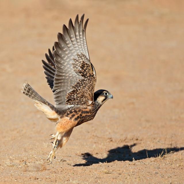 """Lanner falcon in flight"" stock image"