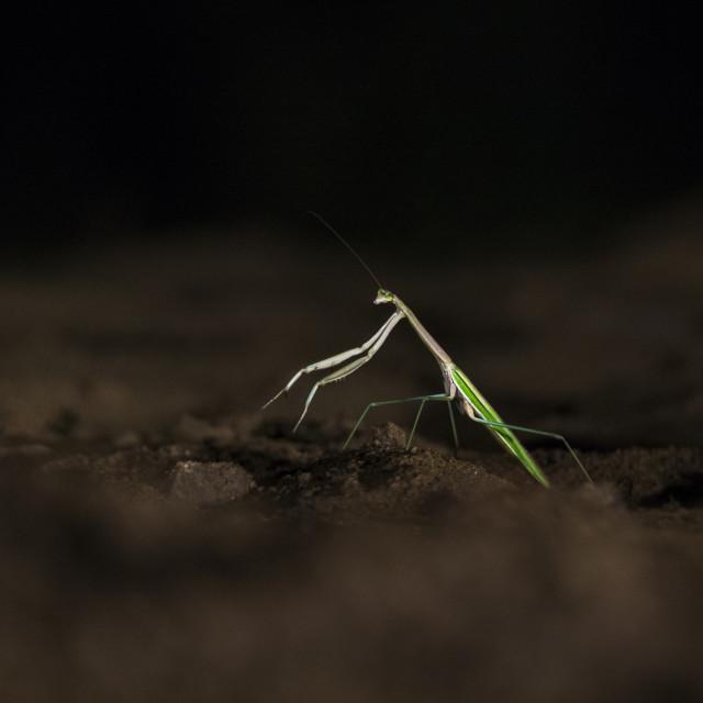 """""""Praying Mantis waiting for prey at night"""" stock image"""