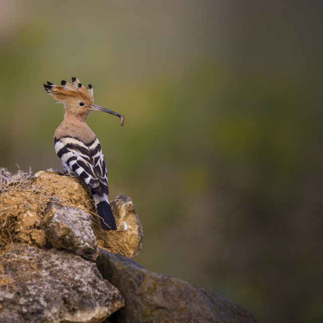 """Hoopoe with a grub in its bill"" stock image"
