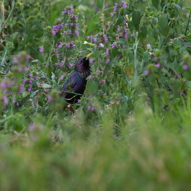 """Common Starling among wild flowers"" stock image"
