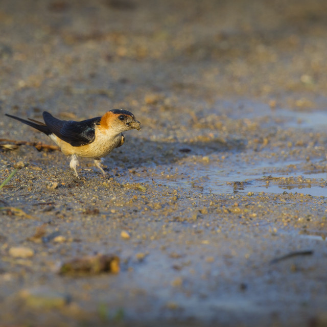 """Swallow collecting mud for nest building"" stock image"