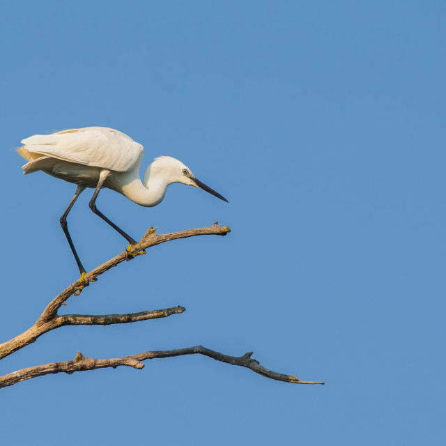 """Little Egret perched in a tree"" stock image"