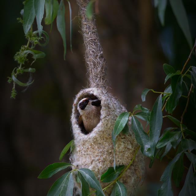 """Penduline Tit building a nest"" stock image"