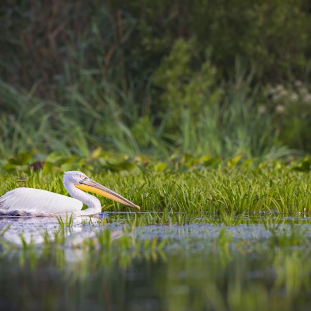 """""""Dalmatian Pelican"""" stock image"""