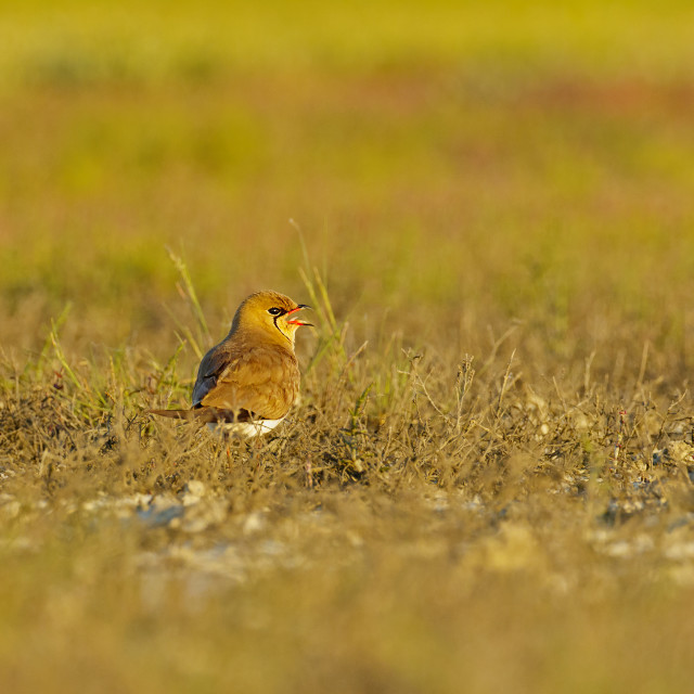 """Collared Pratincole calling"" stock image"