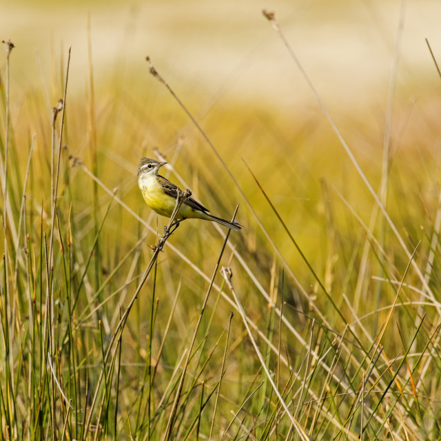 """Yellow Wagtail in grassland habitat."" stock image"