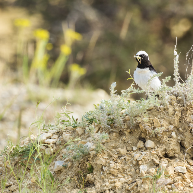 """Pied Wheatear with insect in its bill"" stock image"