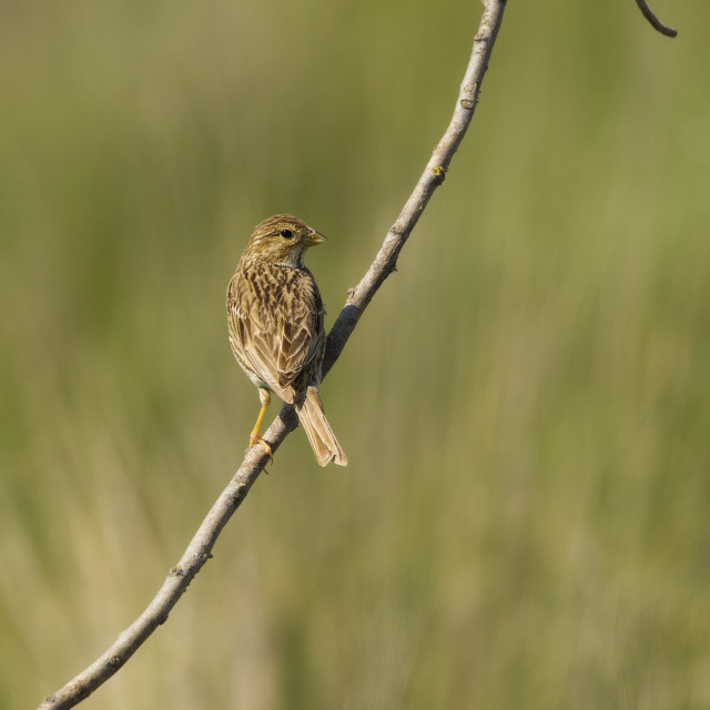 """Corn Bunting on a branch"" stock image"