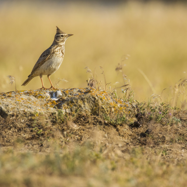 """Crested Lark on rocky outcrop"" stock image"