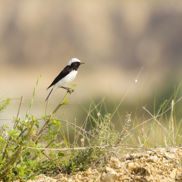 """Pied Wheatear perched on a plant stem"" stock image"