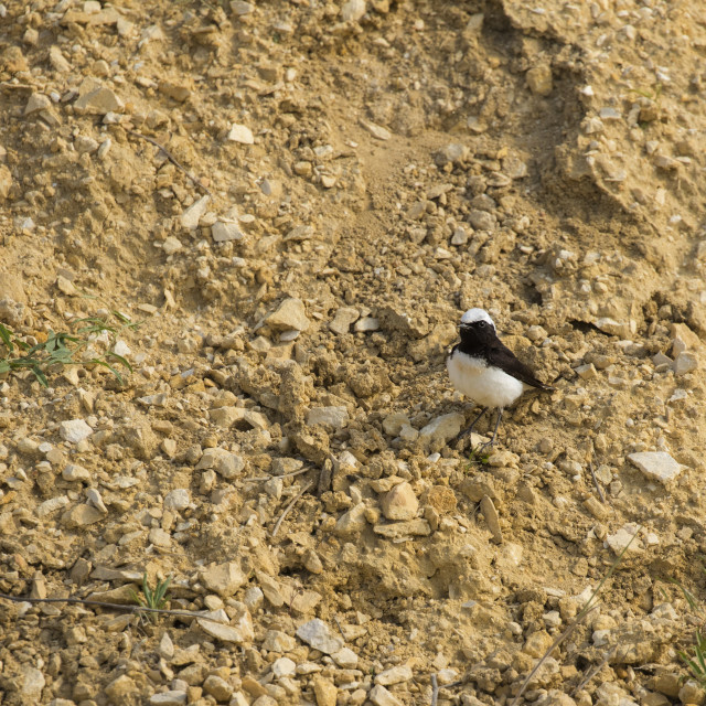 """Pied Wheatear on the ground"" stock image"