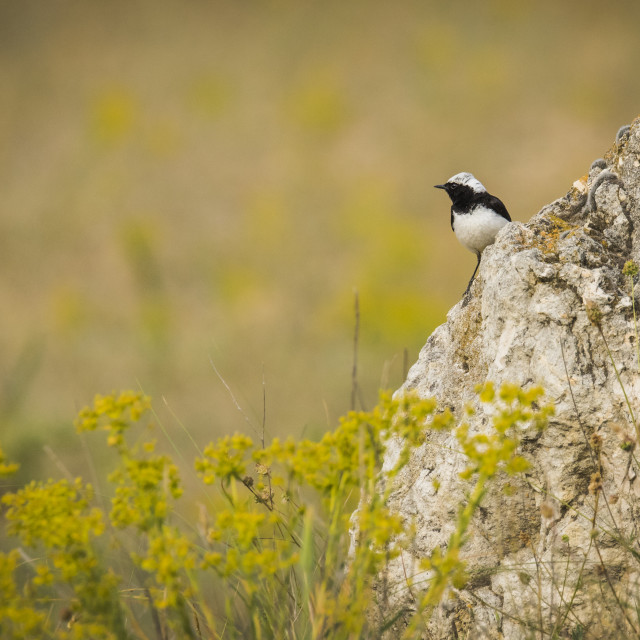 """Pied Wheatear om a rocky outcrop"" stock image"