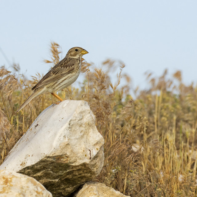 """Corn Bunting on a rock"" stock image"