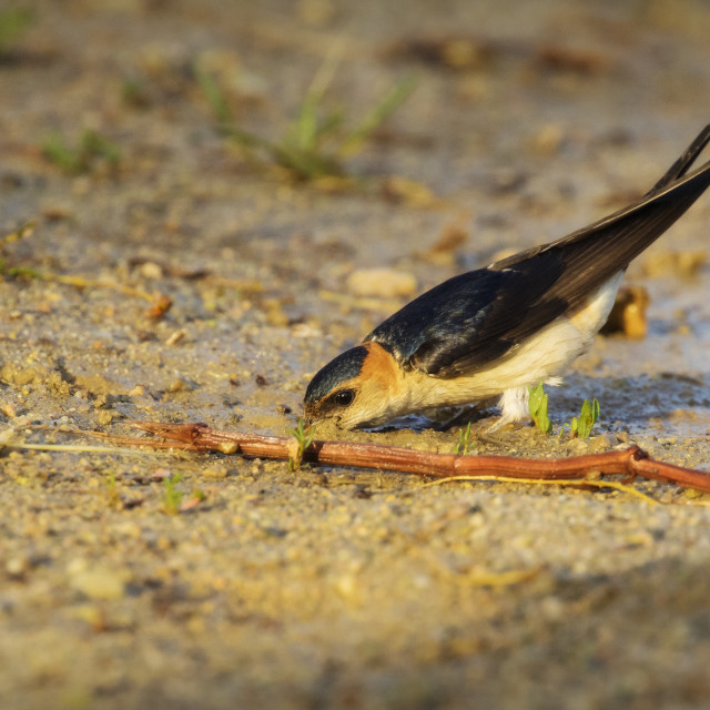 """Red-rumped Swallow collecting mud"" stock image"