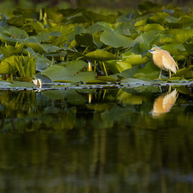 """Squacco Heron standing on lily pads"" stock image"