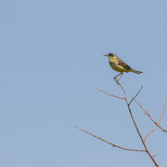 """Immature Western Yellow Wagtail"" stock image"