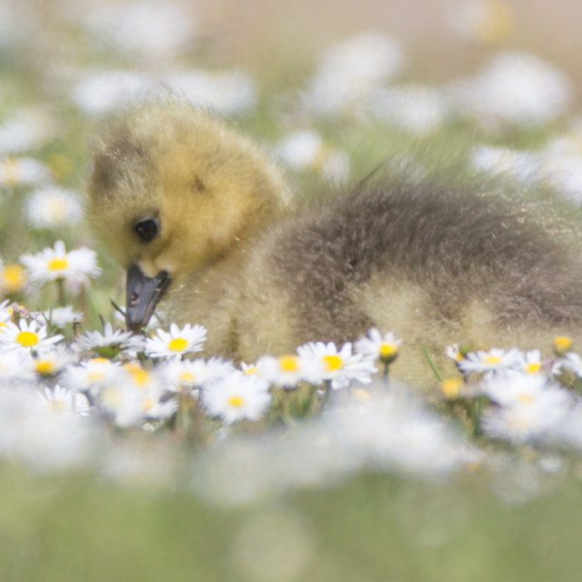 """""""A cute Gosling"""" stock image"""