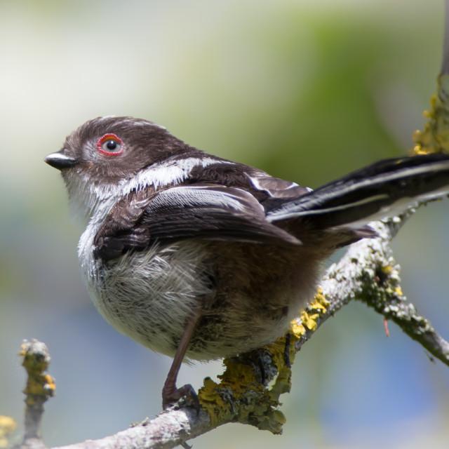 """A Juvenile Long Tailed Tit"" stock image"