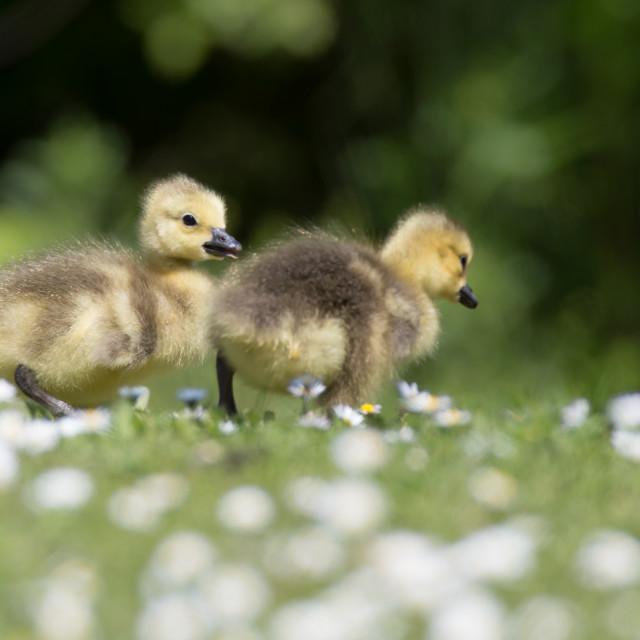 """Baby Goslings"" stock image"
