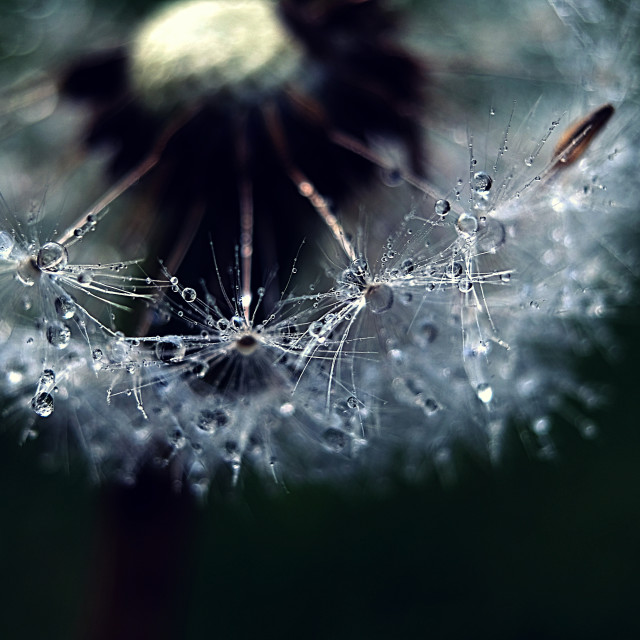 """Wet Dandelion Clock #1"" stock image"