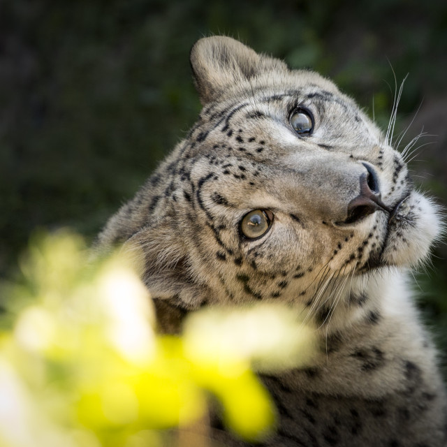 """""""Female snow leopard with yellow flowers"""" stock image"""