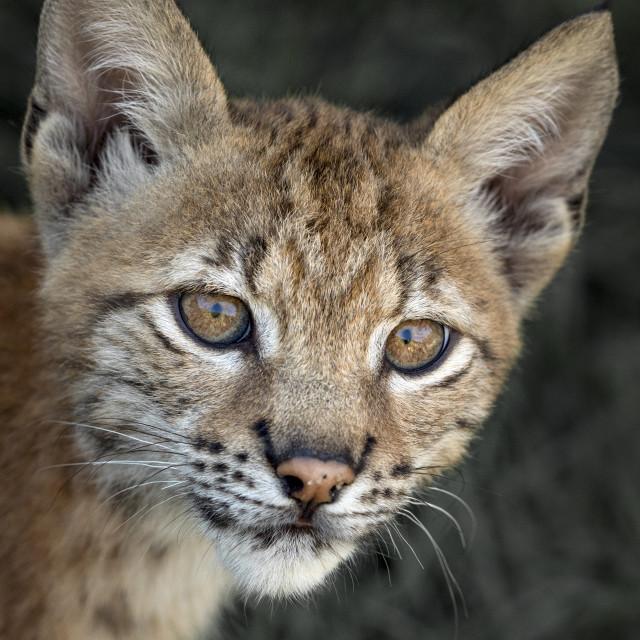 """Female Eurasian lynx cub looking towards camera"" stock image"