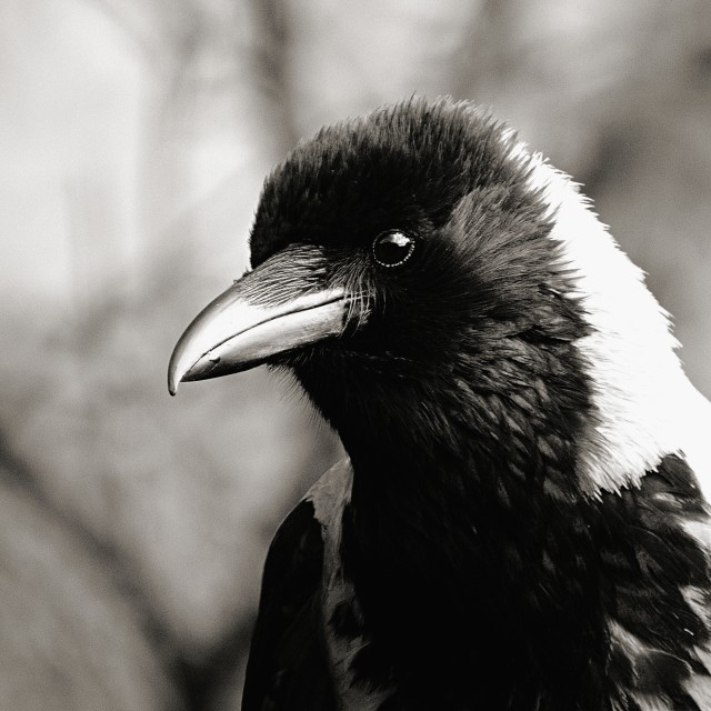 """Fluffy Crow"" stock image"