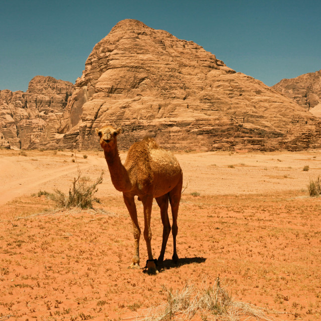 """Camel in the Wadi Rum desert"" stock image"
