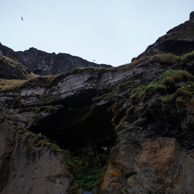 """""""Northern Fulmar Nests in Iceland"""" stock image"""