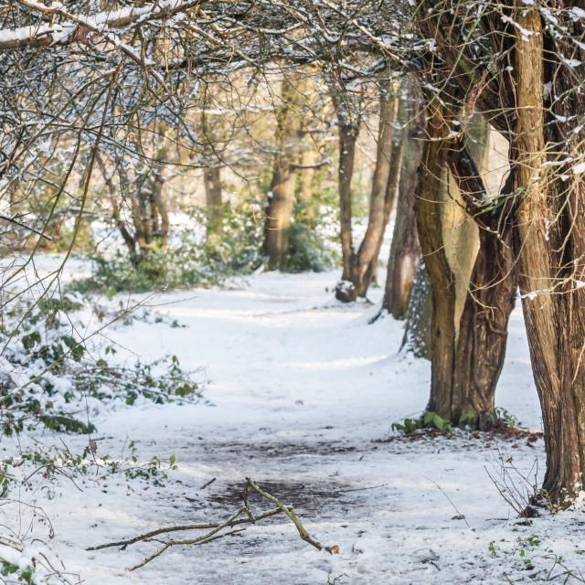 """""""winter woodland background"""" stock image"""