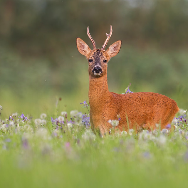 """Roe deer buck in summer between flowers in nature"" stock image"