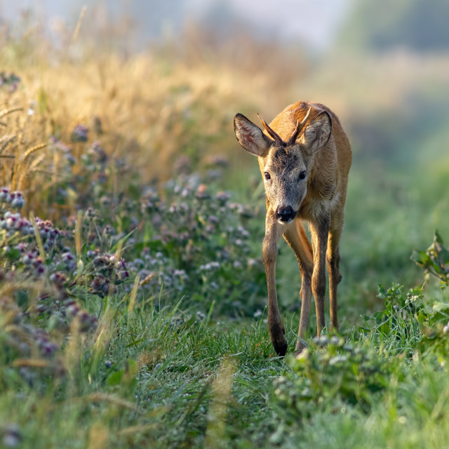 """Roe deer buck walking along grain field in the sunny summer morning."" stock image"