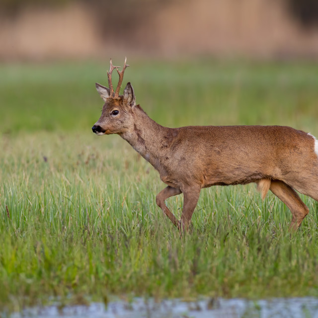 """Roe deer buck in winter coat in spring walking on a green flooded meadow"" stock image"