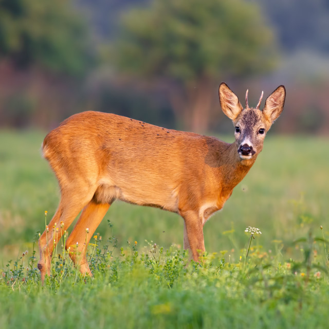 """Young roe deer buck in summer on a fresh green grass"" stock image"