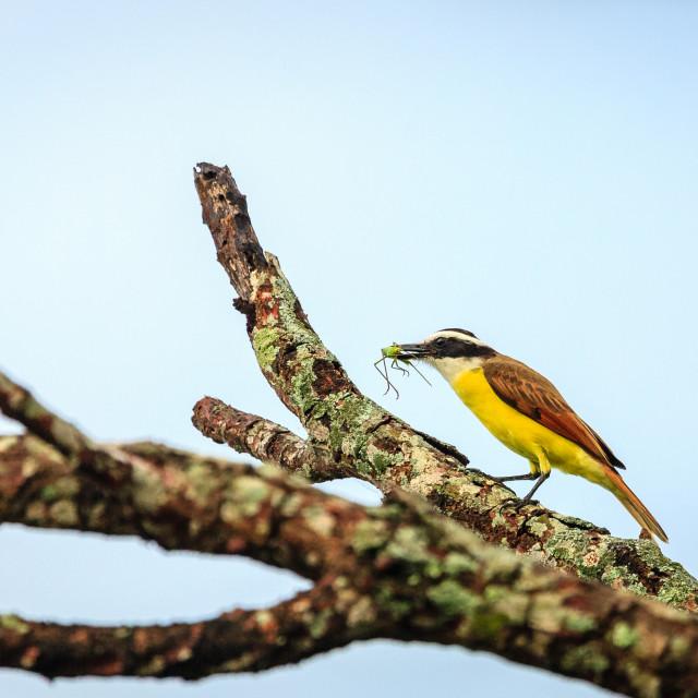 """Great kiskadee bird eating insect"" stock image"